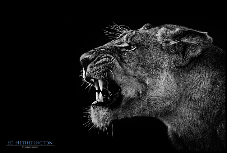 Angry Lioness by Ed Hetherington